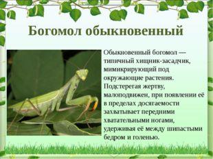 Обыкновенный богомол— типичный хищник-засадчик, мимикрирующий под окружающие