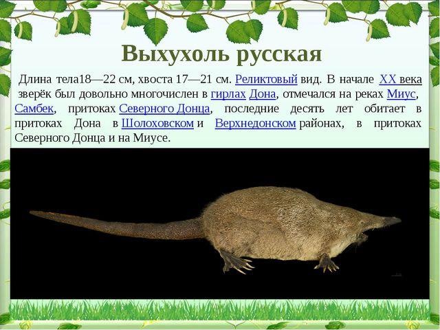 Длина тела18—22см,хвоста17—21см.Реликтовыйвид. В начале XX веказверёк...