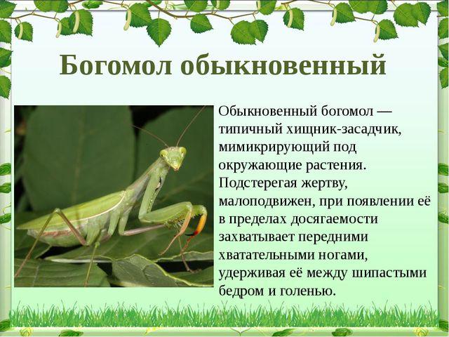 Обыкновенный богомол— типичный хищник-засадчик, мимикрирующий под окружающие...
