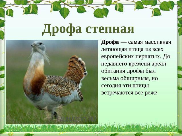 Дрофа— самая массивная летающая птица из всех европейских пернатых. До недав...