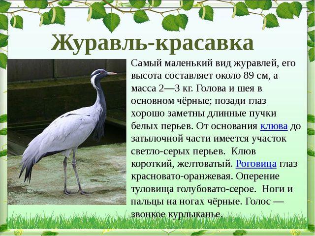 Самый маленький вид журавлей, его высота составляет около 89см, а масса 2—3...