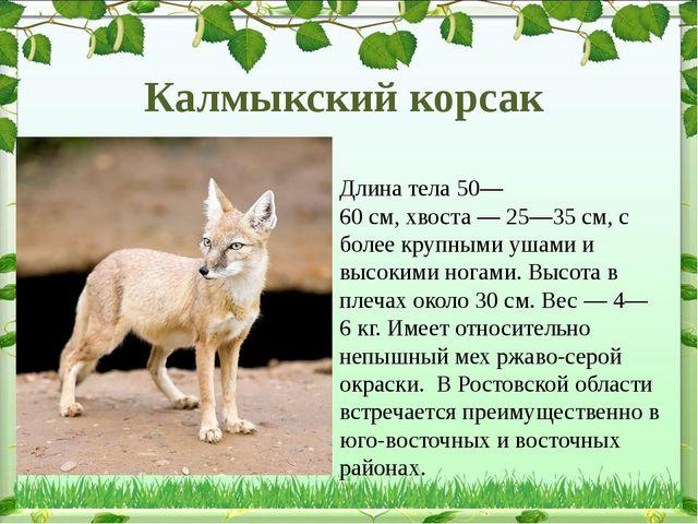 Длина тела50—60см,хвоста—25—35см,с более крупными ушами и высокими ног...