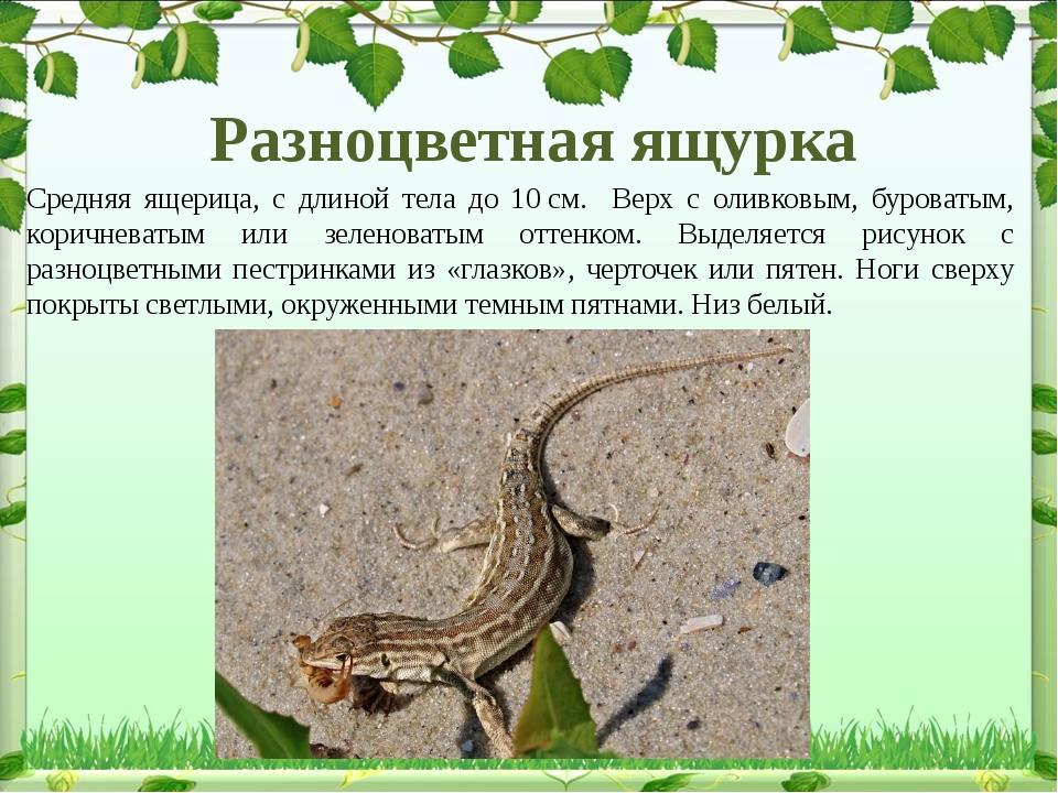 Разноцветная ящурка Средняя ящерица, с длиной тела до 10см. Верх с оливковым...