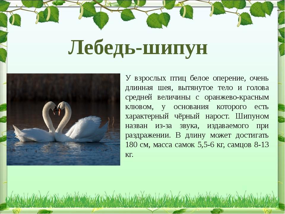 У взрослых птиц белое оперение, очень длинная шея, вытянутое тело и голова ср...