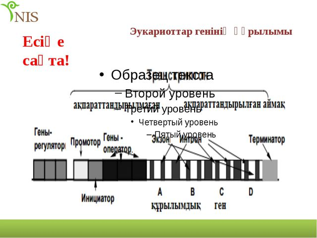 Эукариоттар генінің құрылымы Есіңе сақта!