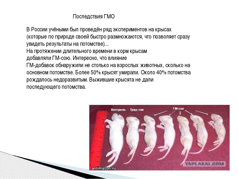 Последствия ГМО В России учёными был проведён ряд экспериментов на крысах (ко...
