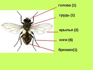 голова (1) грудь (1) крылья (2) ноги (6) брюшко(1)