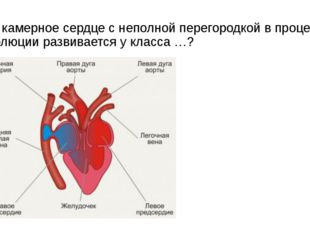 3-х камерное сердце с неполной перегородкой в процессе эволюции развивается у