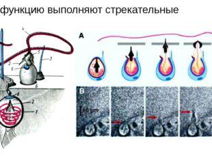 Какую функцию выполняют стрекательные клетки