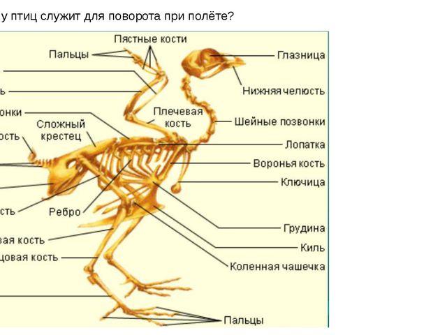 Какая кость у птиц служит для поворота при полёте?