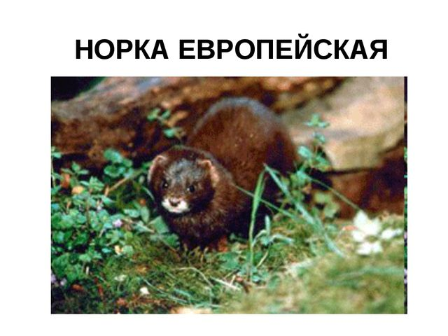 НОРКА ЕВРОПЕЙСКАЯ