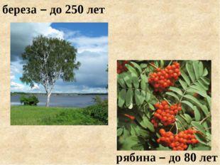 береза – до 250 лет рябина – до 80 лет