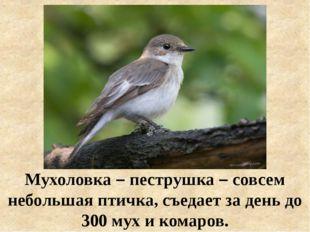 Мухоловка – пеструшка – совсем небольшая птичка, съедает за день до 300 мух и