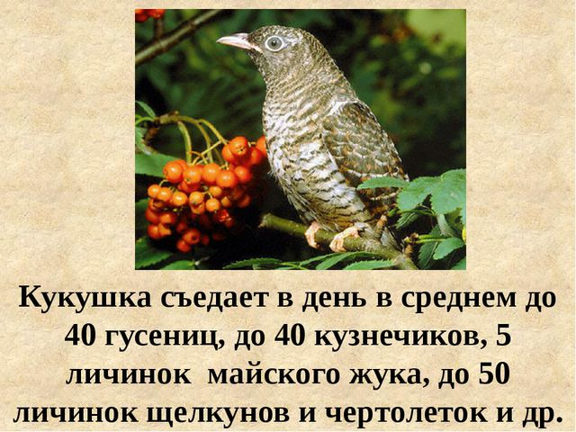 Кукушка съедает в день в среднем до 40 гусениц, до 40 кузнечиков, 5 личинок м...