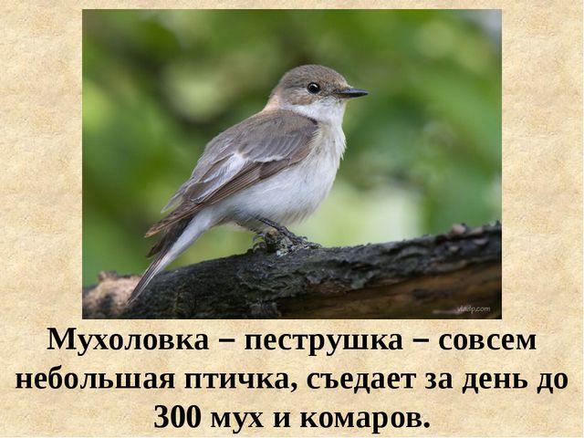 Мухоловка – пеструшка – совсем небольшая птичка, съедает за день до 300 мух и...