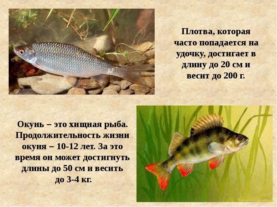 Плотва, которая часто попадается на удочку, достигает в длину до 20 см и веси...