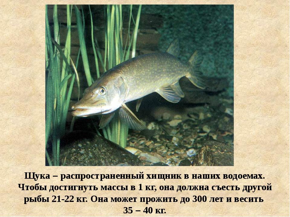 Щука – распространенный хищник в наших водоемах. Чтобы достигнуть массы в 1 к...