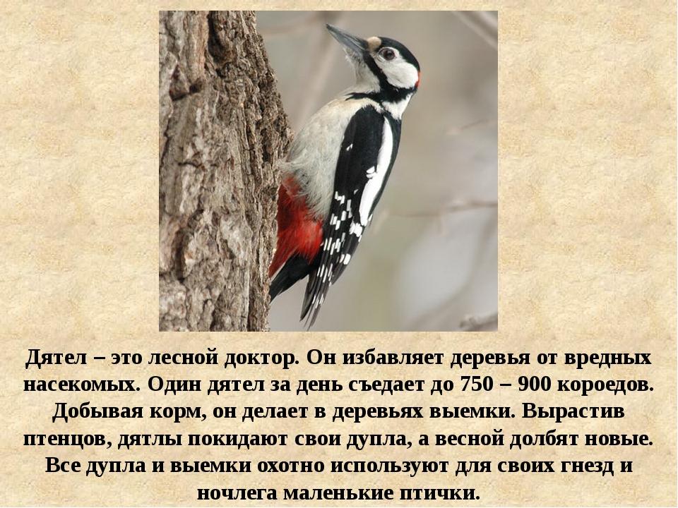 Дятел – это лесной доктор. Он избавляет деревья от вредных насекомых. Один дя...