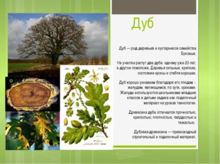 Дуб Дуб — род деревьев и кустарников семейства Буковые. На участке растут два