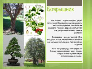 Боярышник Боя́рышник - род листопадных, редко полувечнозелёных высоких кустар