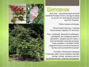 Шиповник Шипо́вник - род дикорастущих растений семейства Розовые. Растет у на