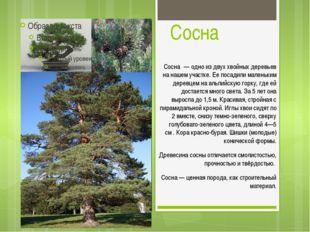 Сосна Сосна́ — одно из двух хвойных деревьев на нашем участке. Ее посадили ма
