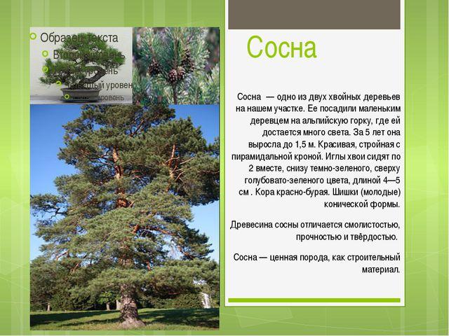 Сосна Сосна́ — одно из двух хвойных деревьев на нашем участке. Ее посадили ма...