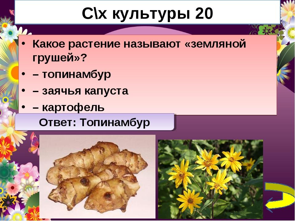 С\х культуры 20 Какое растение называют «земляной грушей»? – топинамбур – зая...