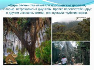 «Царь леса» - так называли исполинские деревья, которые встречались в джунгля