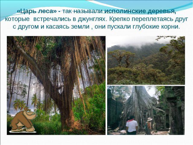 «Царь леса» - так называли исполинские деревья, которые встречались в джунгля...