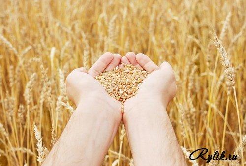 1283249525_wheat.jpg