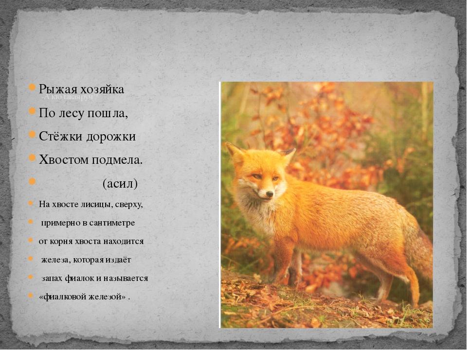 Рыжая хозяйка По лесу пошла, Стёжки дорожки Хвостом подмела. (асил) На хвосте...