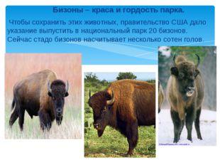 Бизоны – краса и гордость парка. Чтобы сохранить этих животных, правительств