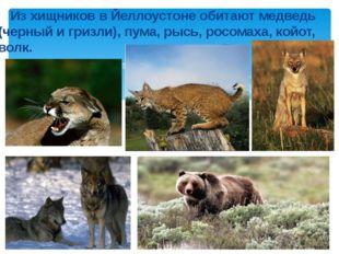 Из хищников в Йеллоустоне обитают медведь (черный и гризли), пума, рысь, рос