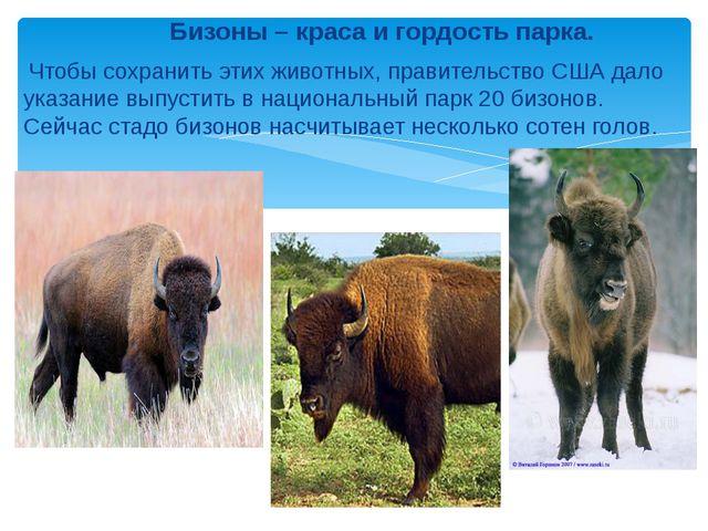 Бизоны – краса и гордость парка. Чтобы сохранить этих животных, правительств...