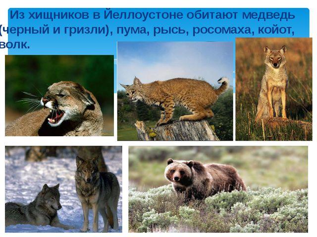 Из хищников в Йеллоустоне обитают медведь (черный и гризли), пума, рысь, рос...