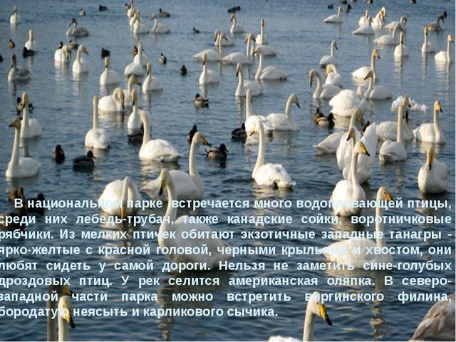 В национальном парке встречается много водоплавающей птицы, среди них лебедь...