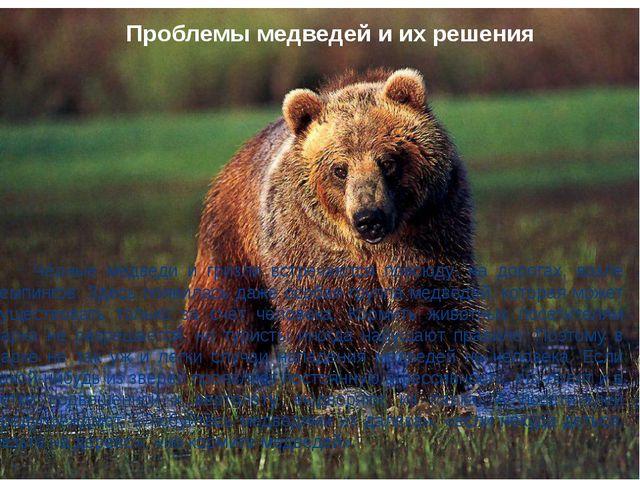 Чёрные медведи и гризли встречаются повсюду: на дорогах, возле кемпингов. Зд...