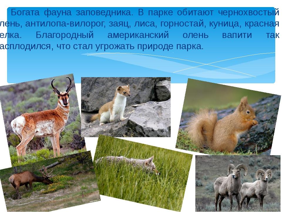 Богата фауна заповедника. В парке обитают чернохвостый олень, антилопа-вилор...