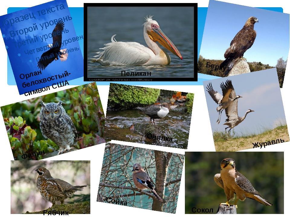 Орлан белохвостый- символ США Беркут Журавль Пеликан Филин Оляпка Сокол Рябч...