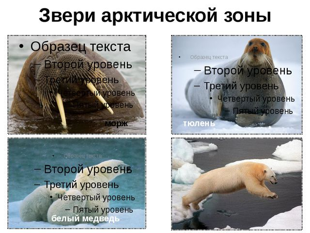 Арктика и человек Человек не является коренным жителем Арктики, но она всегда...