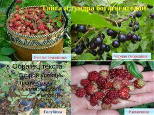 Тайга и тундра богаты ягодой Княженика Лесная земляника Голубика Черная сморо