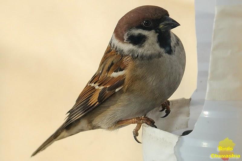 зимующие птицы картинка воробей менее