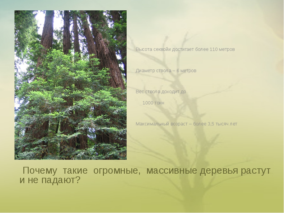 Почему такие огромные, массивные деревья растут и не падают? Высота секвойи...