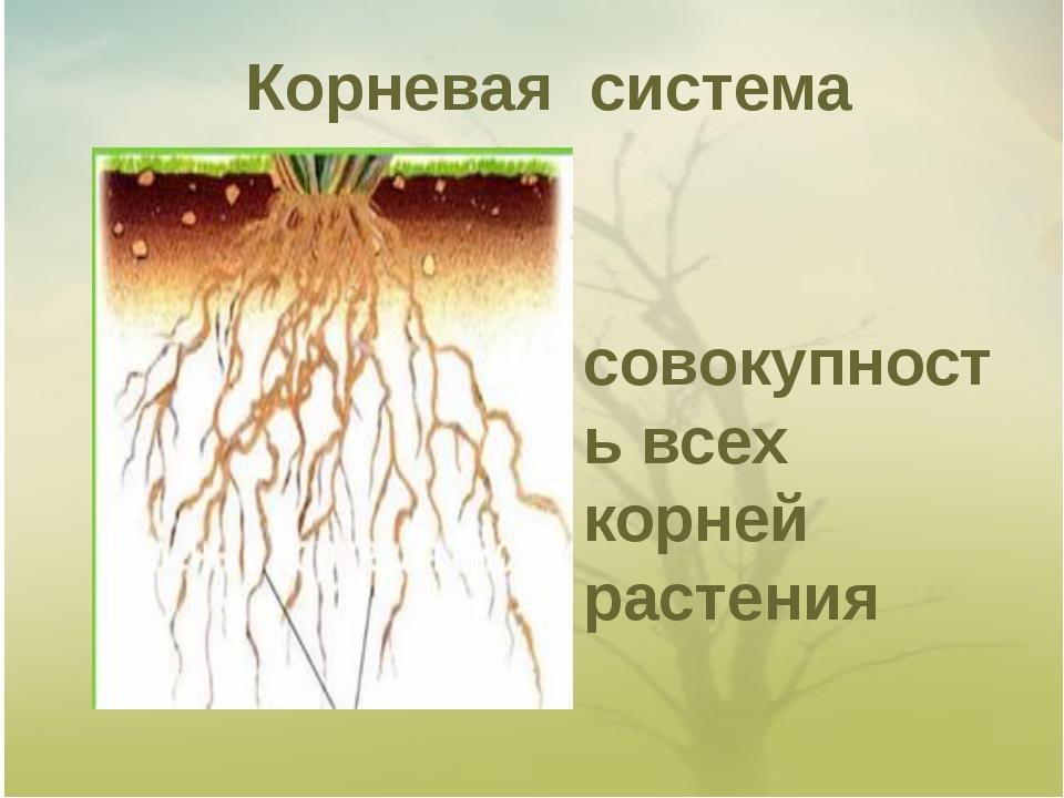 Корневая система совокупность всех корней растения
