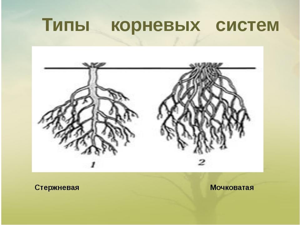 Типы корневых систем Стержневая Мочковатая