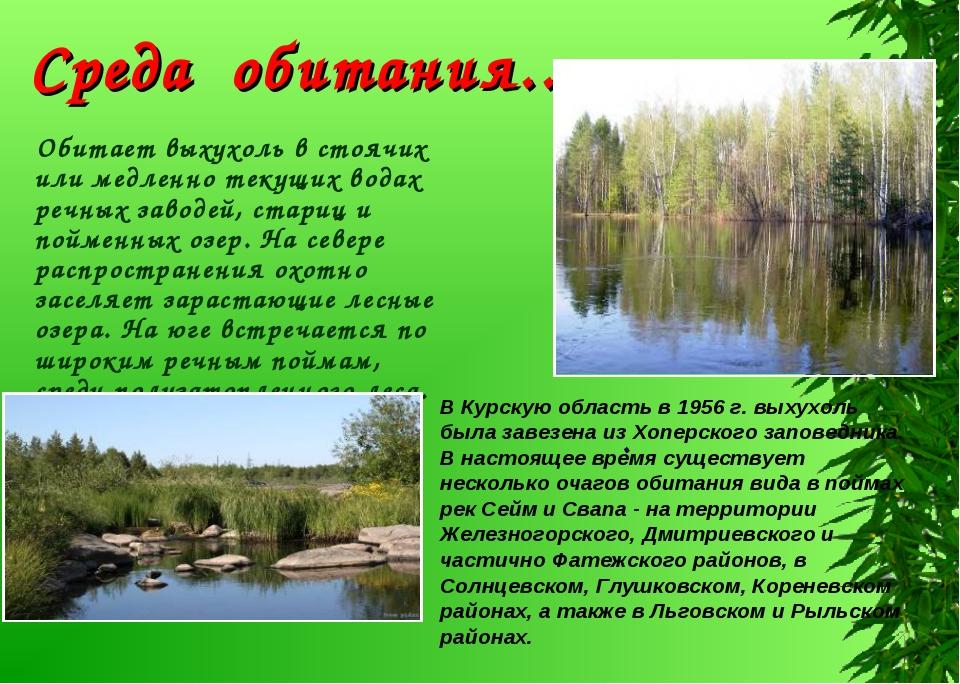 Обитает выхухоль в стоячих или медленно текущих водах речных заводей, стариц...