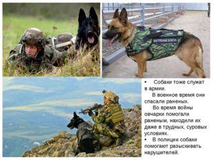 Собаки тоже служат в армии. В военное время они спасали раненых.   Во врем