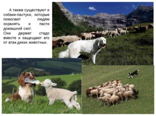 А также существуют и собаки-пастухи, которые помогают людям охранять и пасти