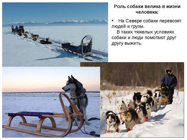 Роль собаки велика в жизни человека: На Севере собаки перевозят людей и грузы...
